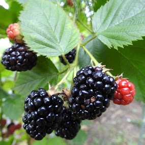 Blackberries  by Charlotte Burnett - Food & Drink Fruits & Vegetables
