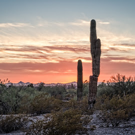 by Ken Mickel - Landscapes Deserts ( desert, topaz adjust, cacti, sunsets, outdoors, arizona, landscape, cactus, saguaro )