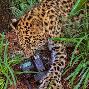 Amur leopard by Lisa Coletto - Instagram & Mobile iPhone ( it got my carmera, nikon d810, amur leopard, nikon, camera shots, leopard,  )