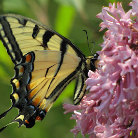 Yellow Swallowtail Butterfly by Diane Butler - Animals Insects & Spiders ( butterfly, lilac, bush, yellow, swallowtail )