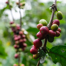 Coffee beans by Loh Jiann - Food & Drink Fruits & Vegetables ( leaves, plantation, coffee, beans, arabica )