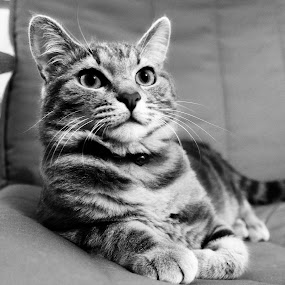 Felix the cat by Photo Creations - Animals - Cats Portraits ( cat, pet, black&white, animal )