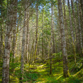 Into the Woods by Steven McCarthy - Landscapes Forests ( washington, trail, sunshine, forest, woods )