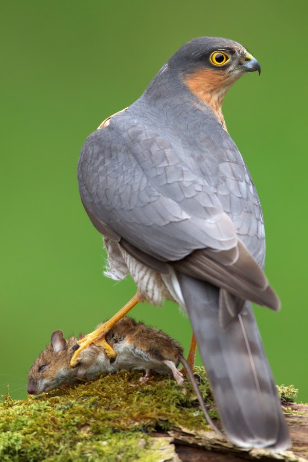 Sparrowhawk with mouse by Tom Langlands - Animals Birds ( bird, sparrowhawk, ornithology, mouse, tom langlands, avian, accipiter, kill, hawk, sparrow )