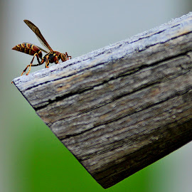 Wasp by Jim Antonicello - Animals Insects & Spiders ( wasp, wood, plow, insect )