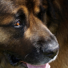 I See You by Barbara Brock - Animals - Dogs Portraits ( working dog, pet, dog head, worried dog, shepard dog, dog, shepherd dog )