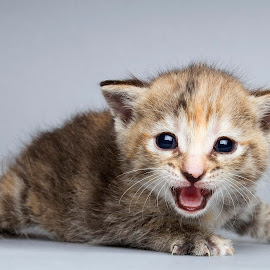 eleanor by Eric Christensen - Animals - Cats Kittens ( ktten, rescue, grey, baby, cry )