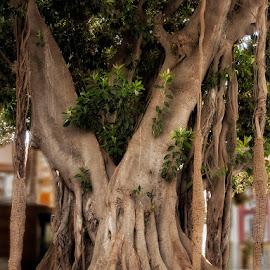 Ficus Gigante by Jomabesa Jmb - Nature Up Close Trees & Bushes ( arboles, naturaleza,  )