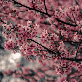 For beauty is nothing but the beginning of terror we can just barely endure, and we admire it so because it calmly disdains to destroy us.  by Sambit Ghosh - Nature Up Close Trees & Bushes ( japan, tree, background, sakura, pink, cherry blossom, garden, flower )
