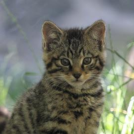 Scottish Wildcat Kitten by Dorothy Thomson - Animals - Cats Kittens ( scottish wildcat, cute kitten, edinburgh, highland tiger, scotland )