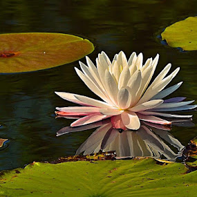 Lily on a pond by Bill Martin - Flowers Flowers in the Wild ( water, reflection, nature, water lily,  )
