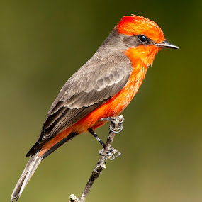 Red Bird by Cristobal Garciaferro Rubio - Animals Birds ( bird, red, red bird, red cardinal, cardinal, wings, posing, birds )