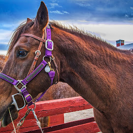 Third the Horse by Pat Lasley - Animals Horses ( animals, horse, stables, portrait, golden hour )