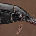 Digger Slope-rumped Beetle
