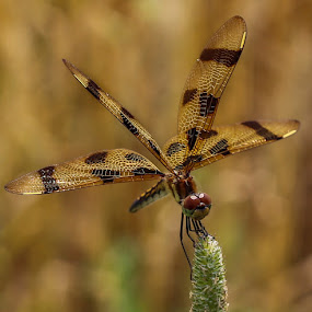 Dragonfly  by Susan Campbell - Animals Insects & Spiders