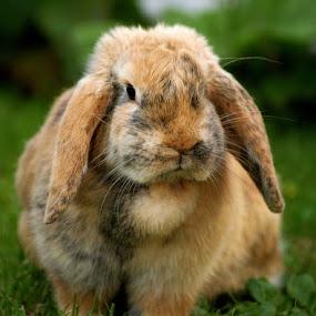 by H. B. - Animals Other ( rabbit, animals, rabbits, portrait )