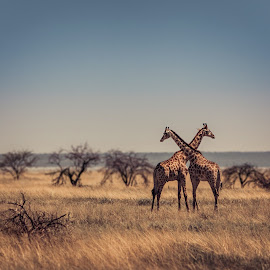 by Bendik Møller - Animals Other ( grassland, animals, outdoor photography, grass, landscape, daytime, nature, tree, giraffe, outdoors, outdoor, landscape photography, trees, summer, symmetry, day, africa, animal, giraffes )