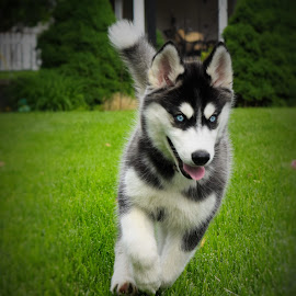 Go, Stella! by Lorna Littrell - Animals - Dogs Running ( dogs, siberian husky, dogs running, dog playing )