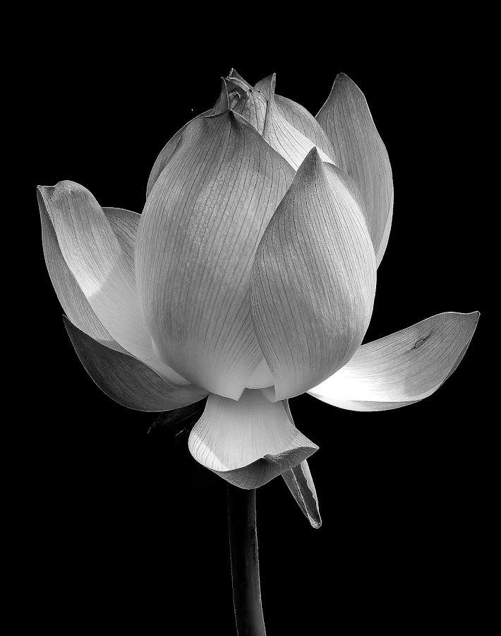 Lotus by Asif Bora - Black & White Flowers & Plants (  )
