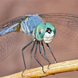 The Eyes of Emerald Green! by Rick Luiten - Animals Insects & Spiders (  )