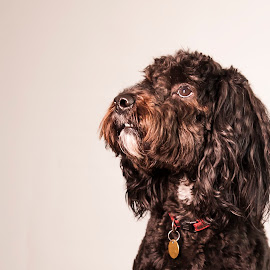 The Look Of Love by Russell Mander - Animals - Dogs Portraits ( cockerpoo, very appealing, big eyes, very cute, dog )