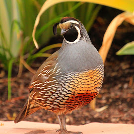 California Quail  by Paul Marto - Digital Art Animals ( bird, avian, crown, beak, wildlife, quail, feathers )