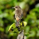 Pied bush chat- Female (subspecies: nilgiriensis)
