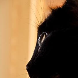 Yaro by Mariska Vermij-van Dijk - Animals - Cats Portraits ( cats, animals, pets, glass, whiskers, beauty, portrait, black, eyes, profile )