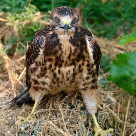 Juvenile Hawk by Julia Van Klinken Myers - Uncategorized All Uncategorized ( bird of prey, hawks, raptor, baby animals, raptors, hawk )