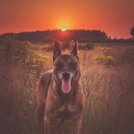 Sunset by Wilma Heuvel - Animals - Dogs Portraits ( maashorst, honden, sunset, mallinois, dog, mechelse herder, netherlands, hunde, animal )