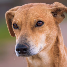 Dog portrait by Noureddine Belfethi - Animals - Dogs Portraits ( eues, ears, dog, portrait, animal )