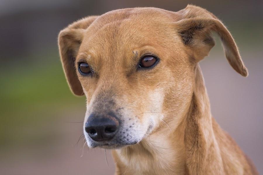 Dog portrait by Noureddine Belfethi - Animals - Dogs Portraits ( eues, ears, dog, portrait, animal,  )