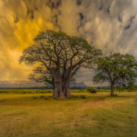 by Wim Moons - Landscapes Travel ( baobab tree, zuid-afrika, hoedspruit, zaf, mdlazi )