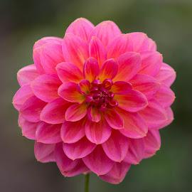 Hot Pink by Janet Marsh - Flowers Single Flower ( pink, dahlia )