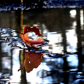 Touchdown! by Dorothy Koval - Nature Up Close Leaves & Grasses ( water, skid, reflection, folliage, skip, leaves, bounce, autumn leaf, fall leaves on ground, circles, fall leaves, landing, nature, autumn, foliage, abscission, fall )