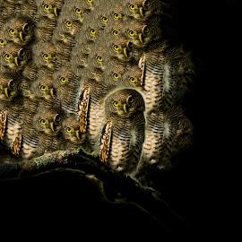 Curious looks by Manoj Kumar Vittapu - Digital Art Animals ( wild animal, illustration, wildlife, birds, owls, photography, halloween, eyes, black background, bird, nature, artistic, owl, black )