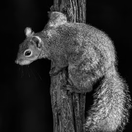 All Squirrelled Up by Bill Tiepelman - Animals Other ( tree, nature, black and white, anmal, squirrel )