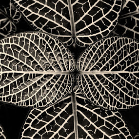 White Veined Leaf Pattern (Sepia) by Josh Mayes - Nature Up Close Flowers - 2011-2013 ( sepia, pattern, white, leaf, leaves, veins, black )