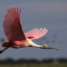 fy by Edith Polverini - Animals Birds ( argentina, flying, roseate sponbill, birds, spoonbill )