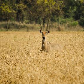 Nilgai by Vishal  Singh - Uncategorized All Uncategorized ( #animal #ballia #nature #nilgai, pixoto, #day #wild #traval, competition )