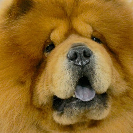 Chow Baby by Barbara Brock - Animals - Dogs Portraits ( chow dog, asian dog, dog face, pet, dog, large dog )