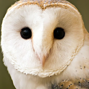 Barn Owl Portrait by Josh Mayes - Animals Birds ( face, barn, white, owl, feathers, close-up, black, soft, eyes )