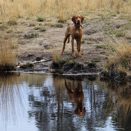 Standing Proud by Andy Dow - Animals - Dogs Portraits ( reflection, brown, lake, dog, posing )