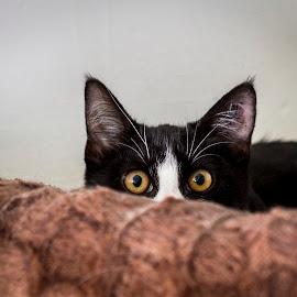 Peek a Boo by Gary Tindale - Animals - Cats Kittens ( kitten, ears, cute, small, black, eyes )