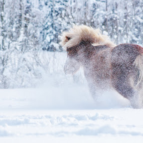 Snow by Minna Mäkinen - Animals Horses