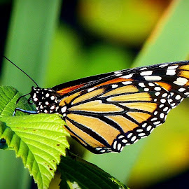Monarch Butterfly by Amanda Pietrangelo - Animals Insects & Spiders ( orange, white, antennae, leaf, black )