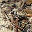 Ghost Tiger Beetle