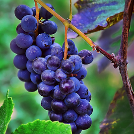 grape in my garden by LADOCKi Elvira - Nature Up Close Trees & Bushes (  )