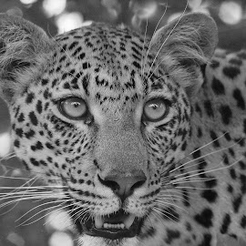 Young Mashaba Female by Anthony Goldman - Black & White Animals ( big cat, wild, predator, nature, female young mashaba, wildlife, b & w, londolozi, leopard )