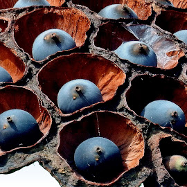 Lotus seeds  by Asif Bora - Nature Up Close Other Natural Objects (  )